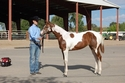 2012 Halter Futurity Winner Filly - Sorrel and White Tobino Filly